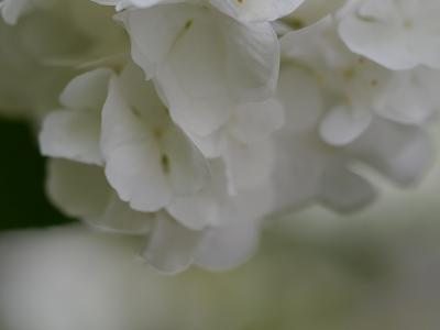 170512オオデマリ (2)