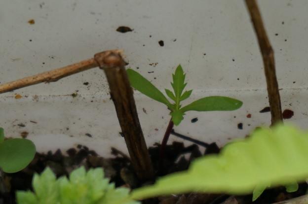 こぼれ種から発芽したマリーさん