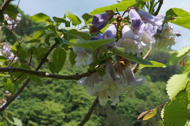 桐の花その1