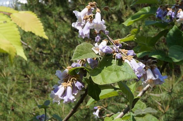 桐の花その2