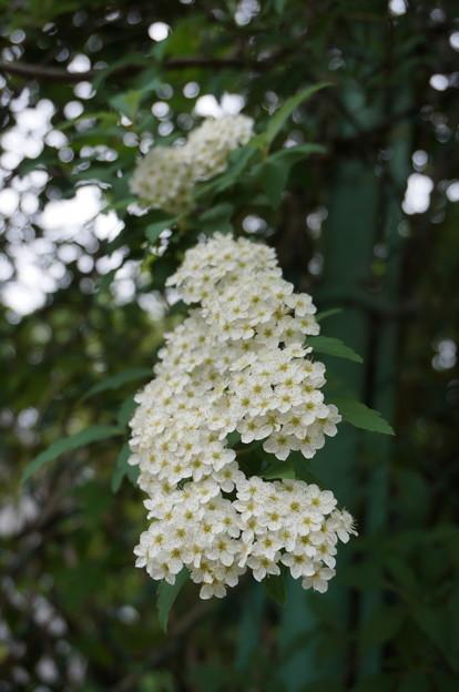白い花その1