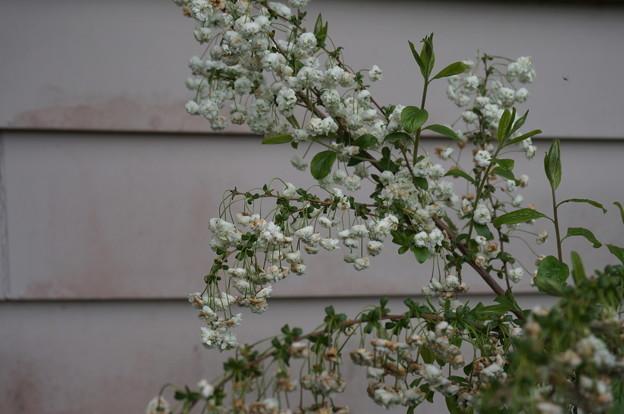 白い花その2