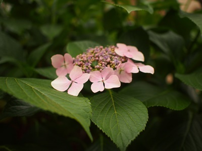 hydrangea170618.jpg