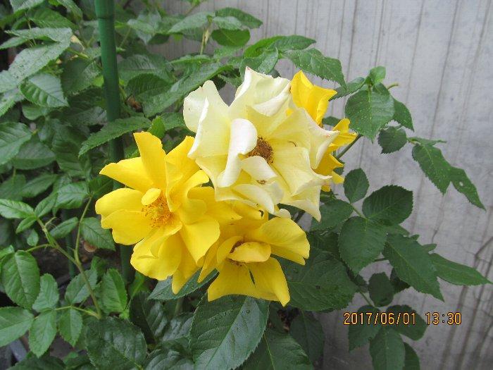 2017ykhflower42.jpg