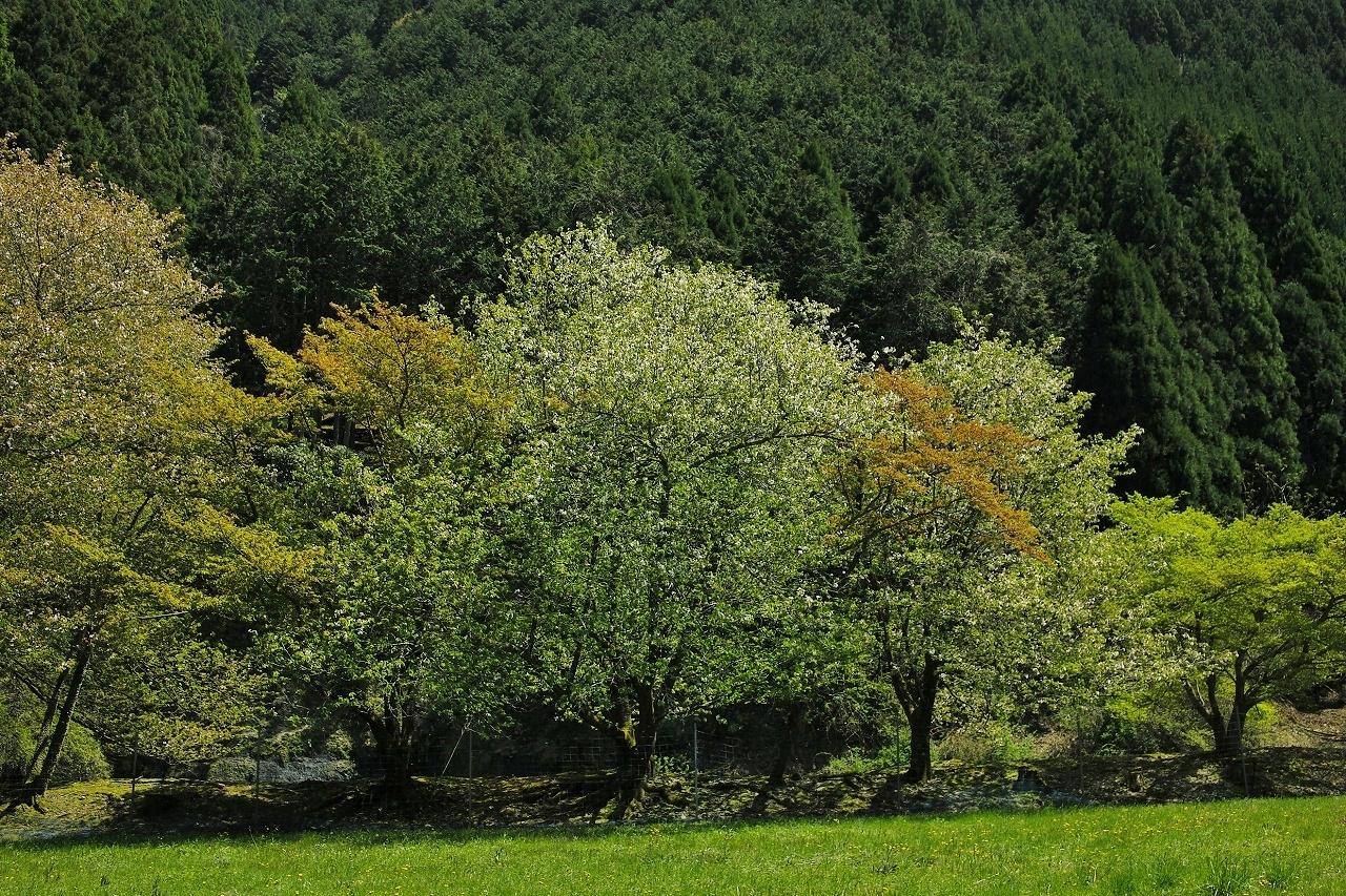 大原葉桜X04