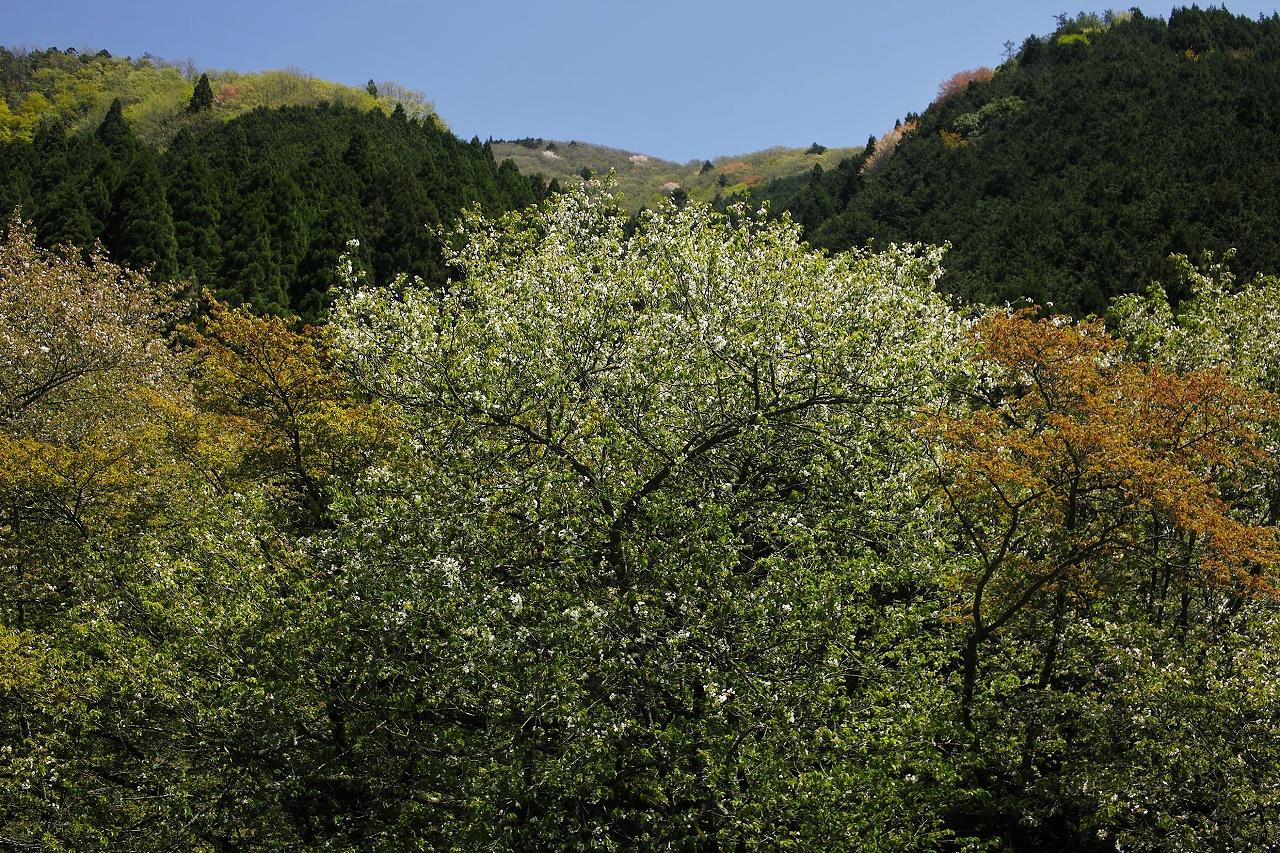 大原葉桜X06