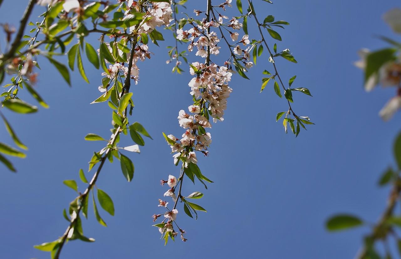 大原葉桜X14