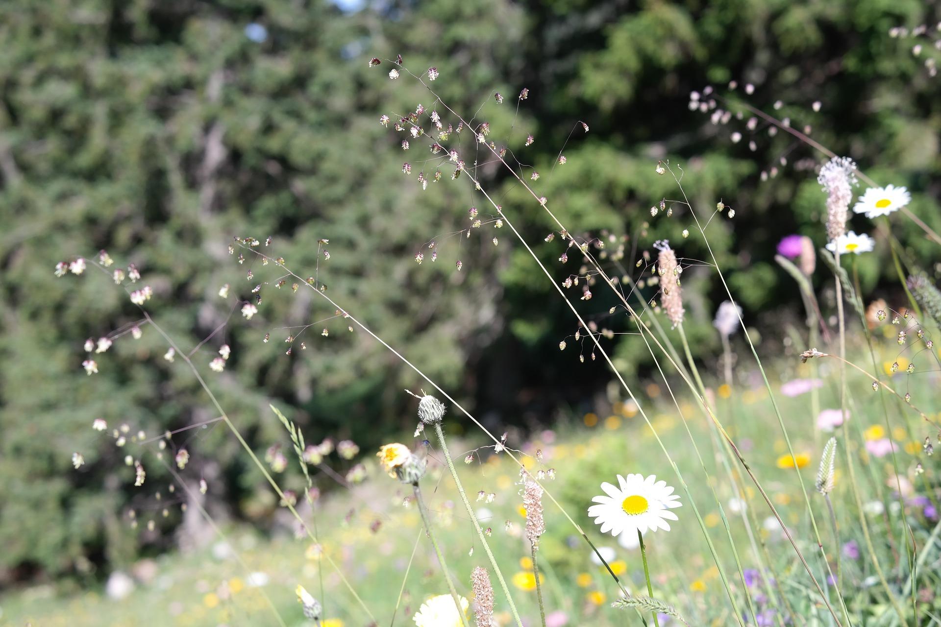 quaking-grass-1837773_1920.jpg