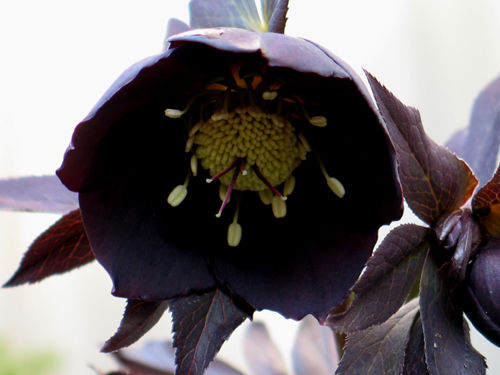 x s 黒いクリロー(黒寒芍薬、ローズマリー)