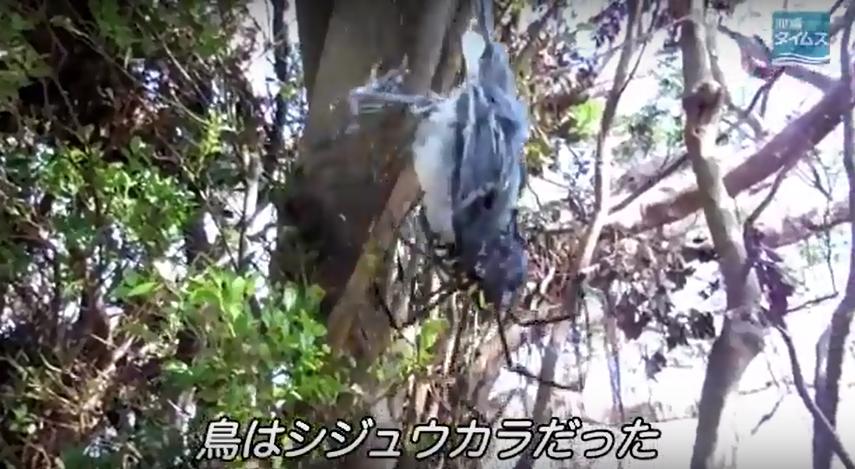 zz o鳥を食う巨大なクモ・オオジョロウグモc
