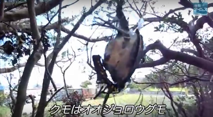 zz o鳥を食う巨大なクモ・オオジョロウグモb