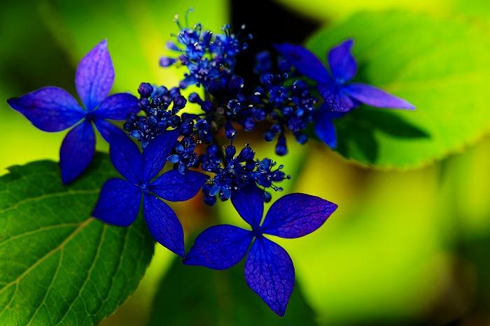 zz yyヤマアジサイ(山紫陽花)d-3 園芸種