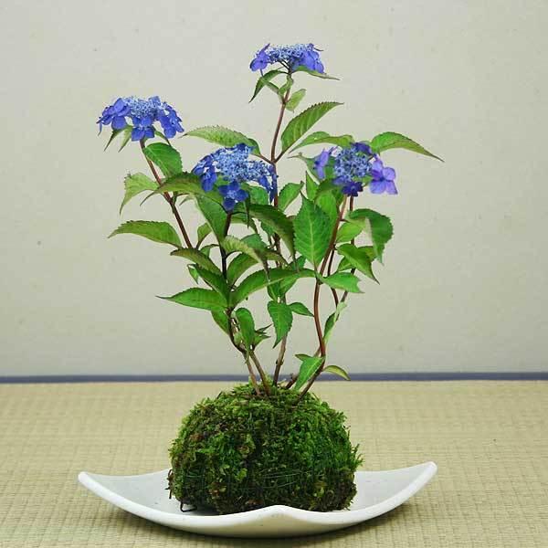 zz yyヤマアジサイ(山紫陽花)d-2 園芸種