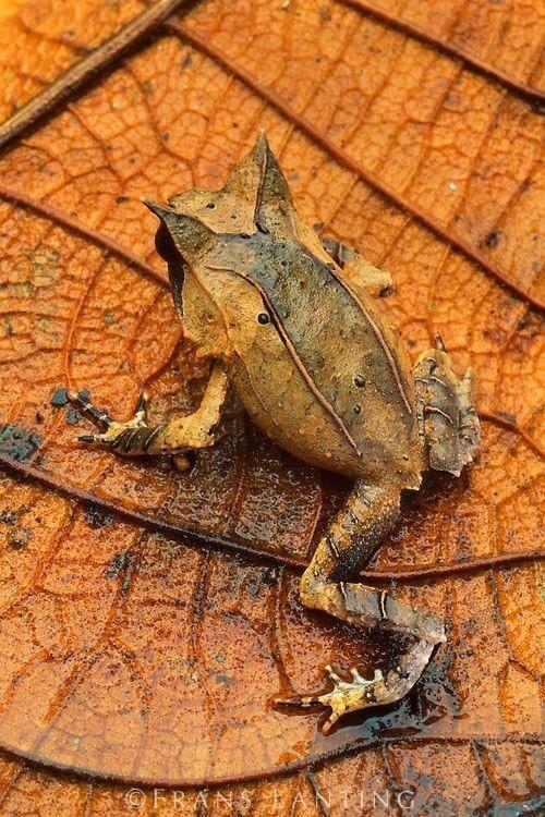 zz zf 木の葉に擬態するカエル