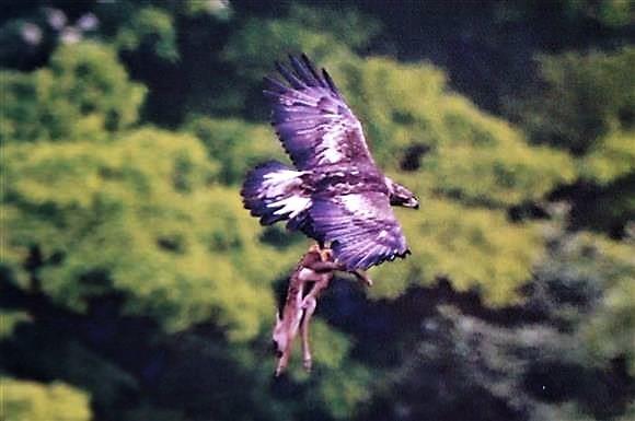 zzzz eagle dear (2)