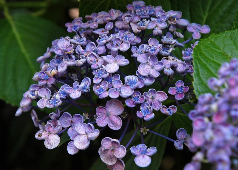 zzzzz a ウズアジサイ 渦紫陽花b 変種