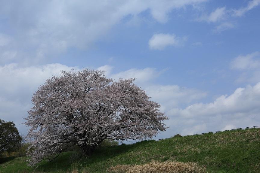 一本桜、1