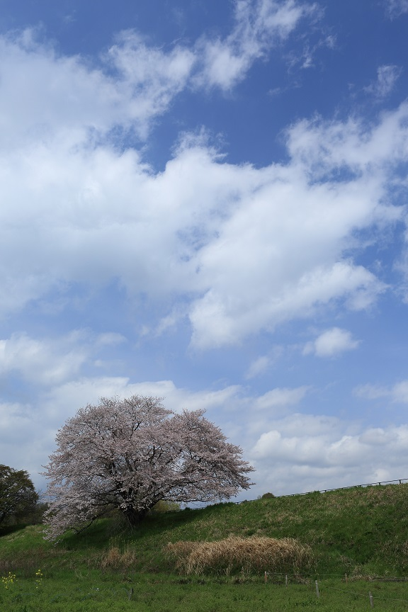一本桜、2