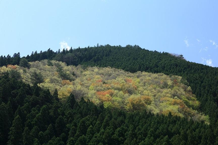 山桜、13