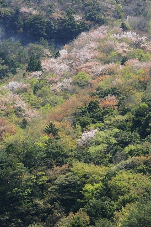 山桜、14