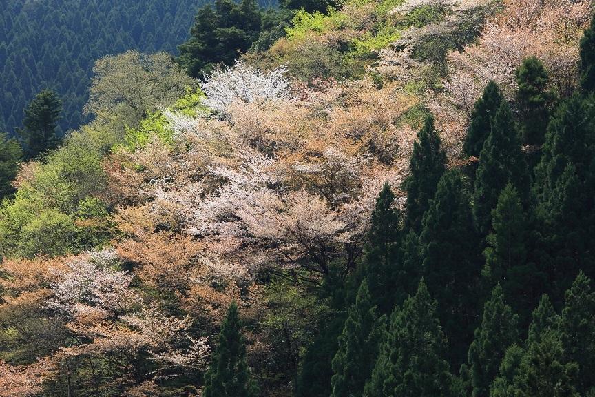 山桜、15