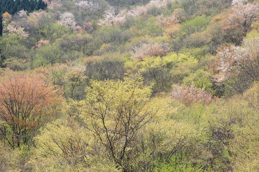 山桜、16