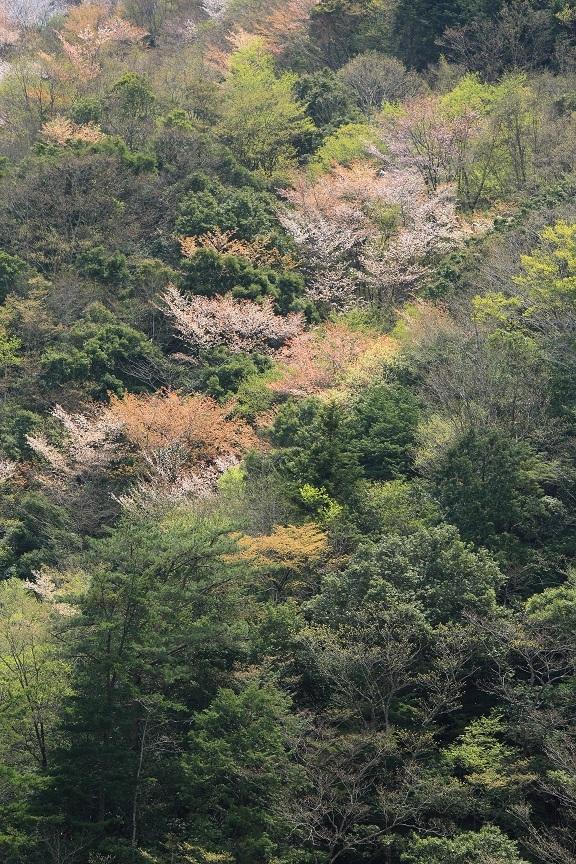 山桜、17
