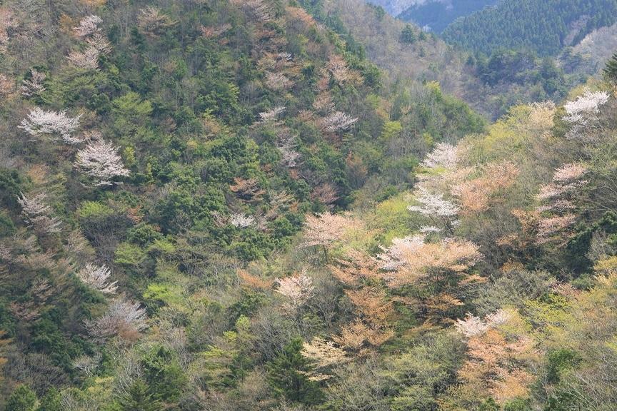 山桜、18