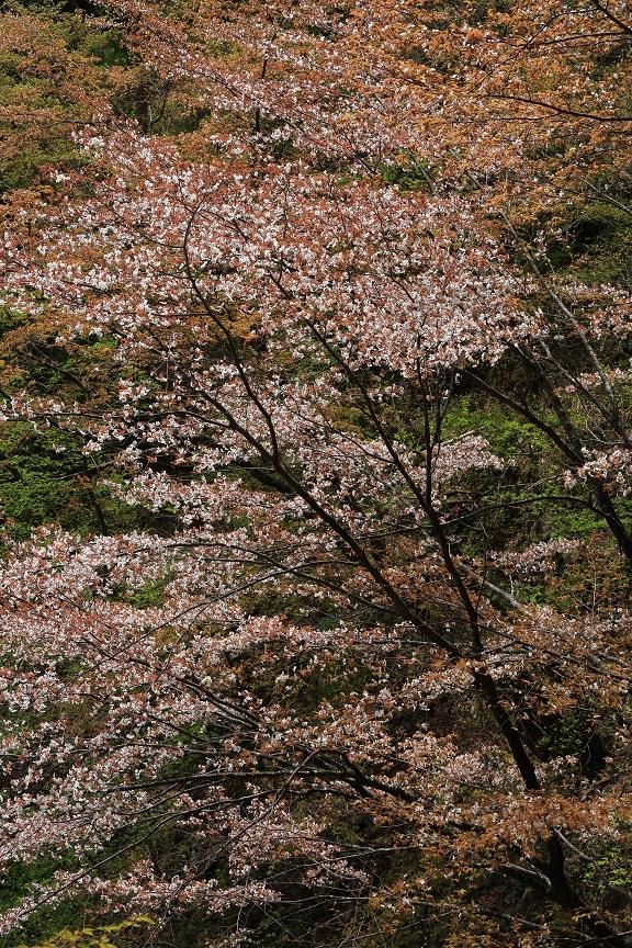 山桜、19