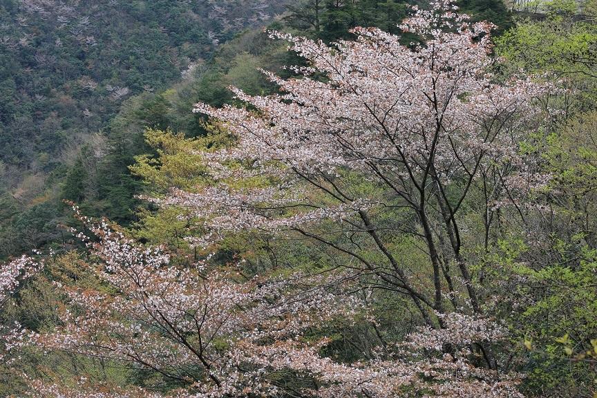 山桜、20