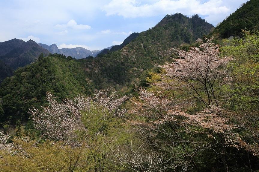 山桜、21