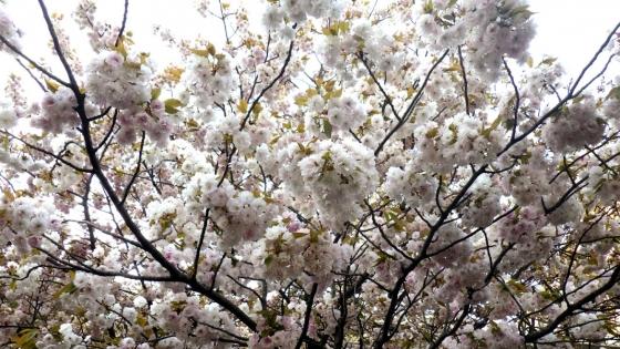 造幣局 桜の通り抜け 2017 Part2(二度桜:にどざくら)