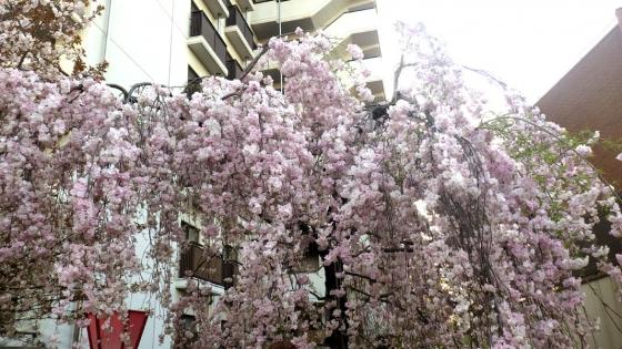 造幣局 桜の通り抜け 2017 Part2(雨情枝垂:うじょうしだれ)