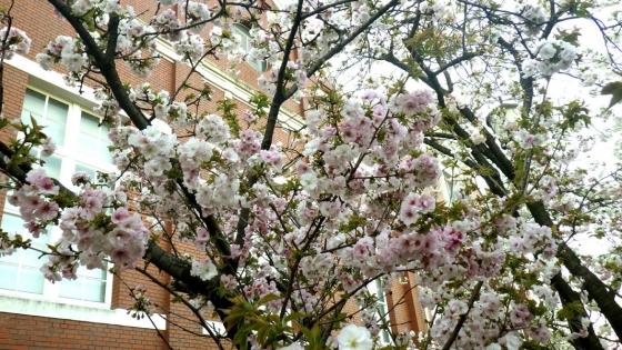 造幣局 桜の通り抜け 2017 Part4(南殿:なでん)