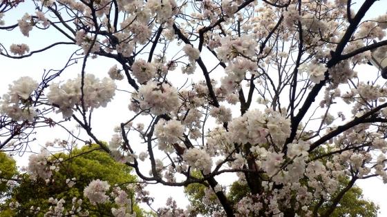 造幣局 桜の通り抜け 2017 Part4(浦和:うらわ)