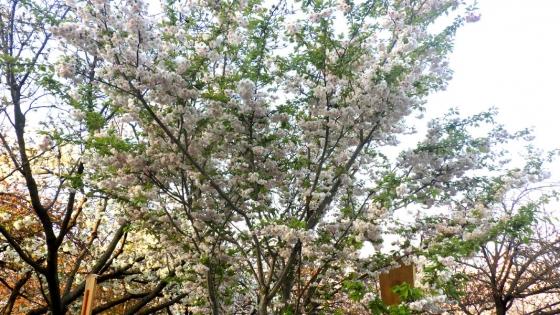 造幣局 桜の通り抜け 2017 Part6(笹賀鴛鴦桜:ささがおしどりざくら)