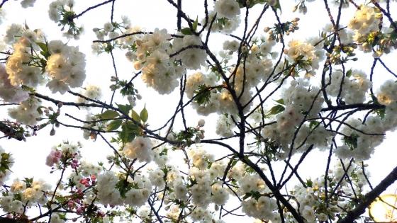 造幣局 桜の通り抜け 2017 Part6(白妙:しろたえ)