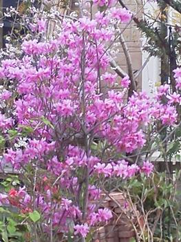 濃紅紫ミツバ・初夏