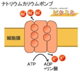 ナトリウムカリウムポンプ