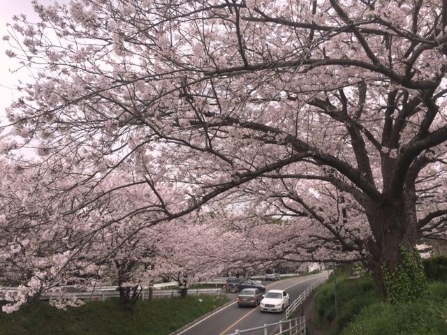 harugami-sakura-1.jpg