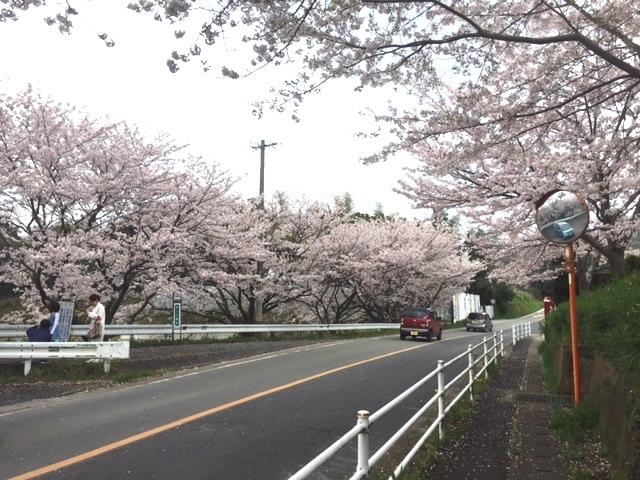 harugami-sakura-2.jpg