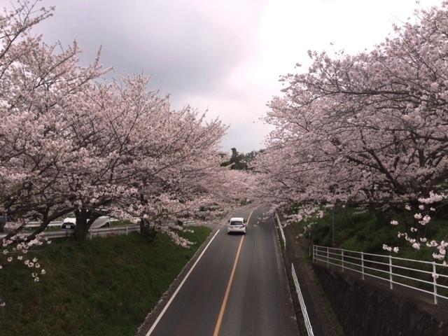 harugami-sakura.jpg