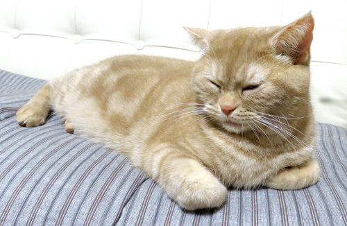 ソファの上で寝るきなこ