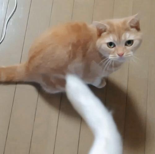 猫じゃらしときなこ