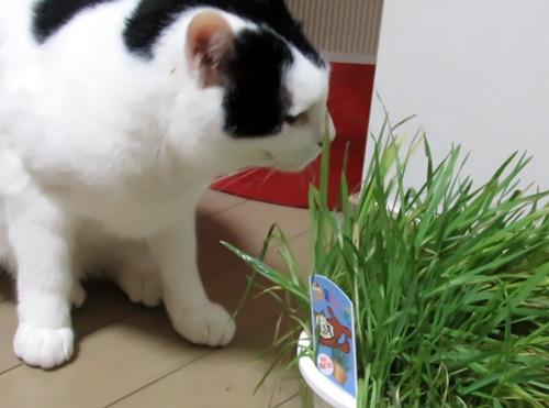 猫草とちっぷ