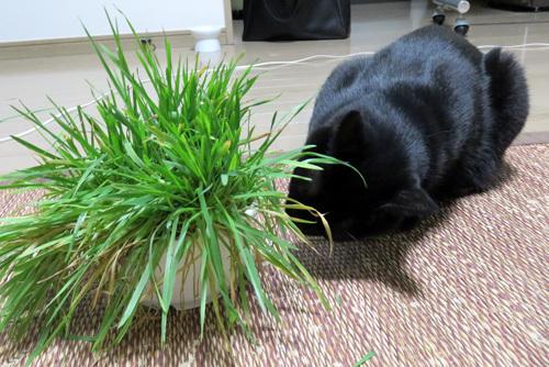 猫草とチョコ