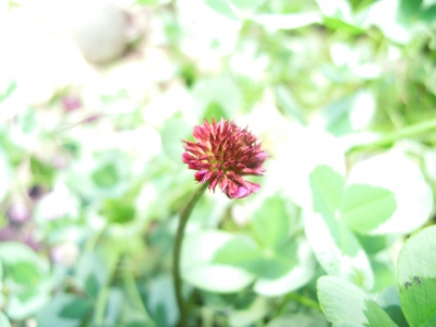 四つ葉のクローバー 5 20170528