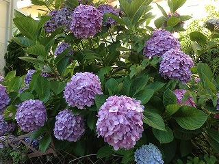 s-紫陽花