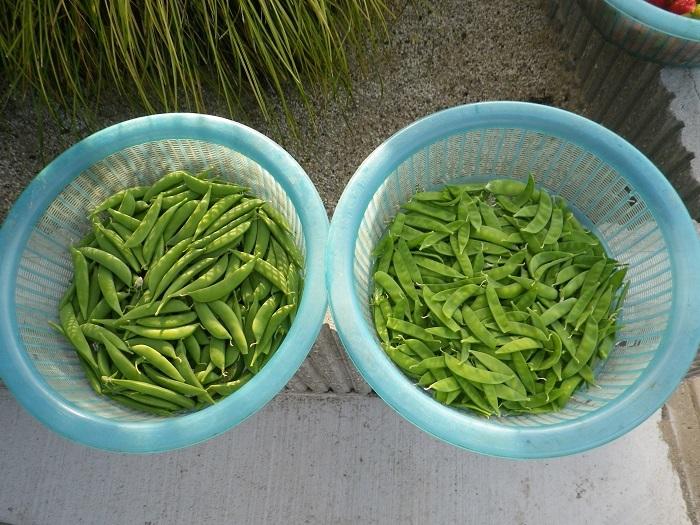 収穫1_17_05_05