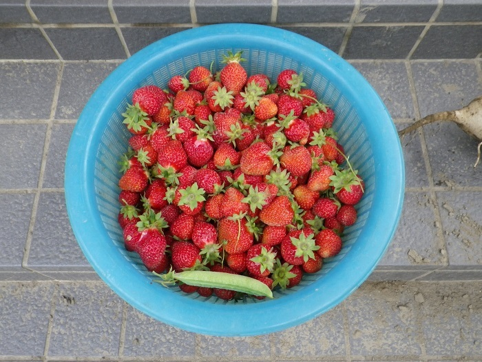 収穫17_05_15